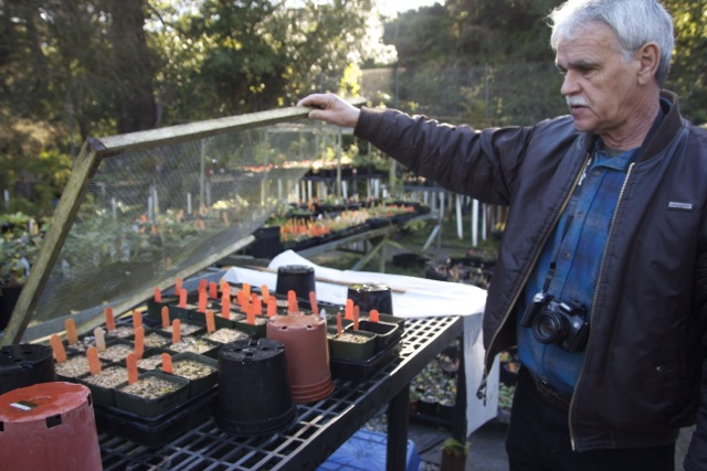 Don Mahoney is propagating magnolia seed. Photo: Alison Hawkes.