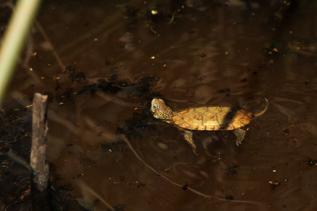 "The San Francisco Zoo is working with Sonoma State University and the Presidio Trust to reintroduce the western pond turtle, a ""species of special concern,"" back into Mountain Lake. Photo: Molly Ransone, San Francisco Zoo"