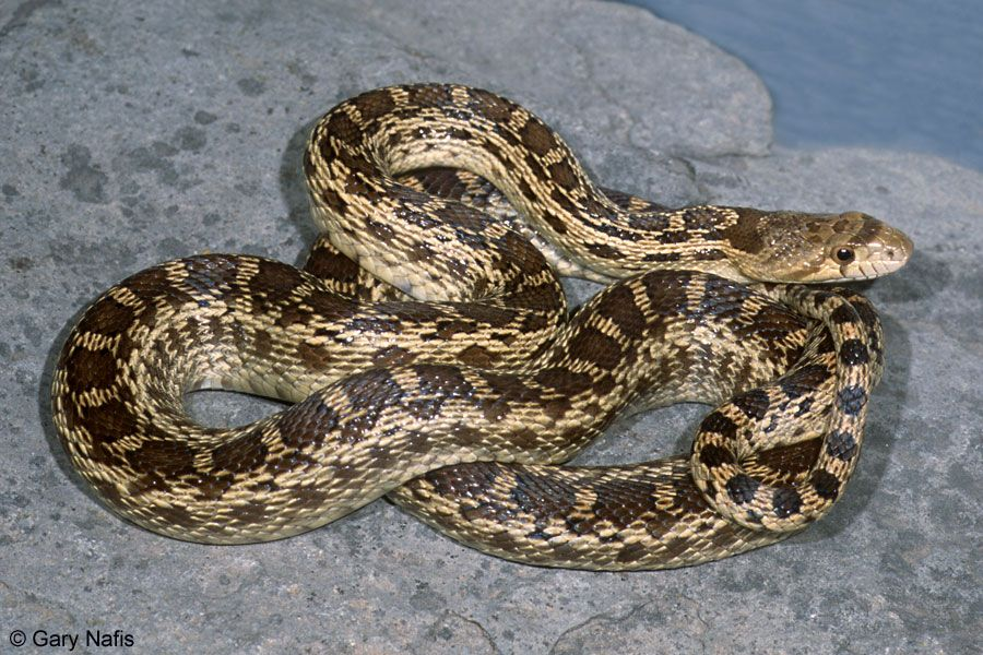 This is the snake you're most likely to see around the Bay Area.