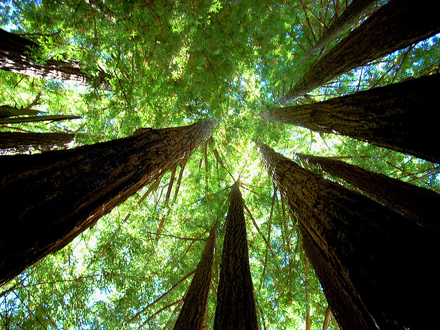 A redwood cathedral at Big Basin State Park. Photo: Richard Masoner.