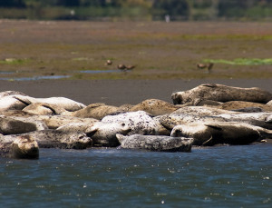 Habor seals often haul out in large groups to rest and warm up. Photo: David Dugan/foggydave.