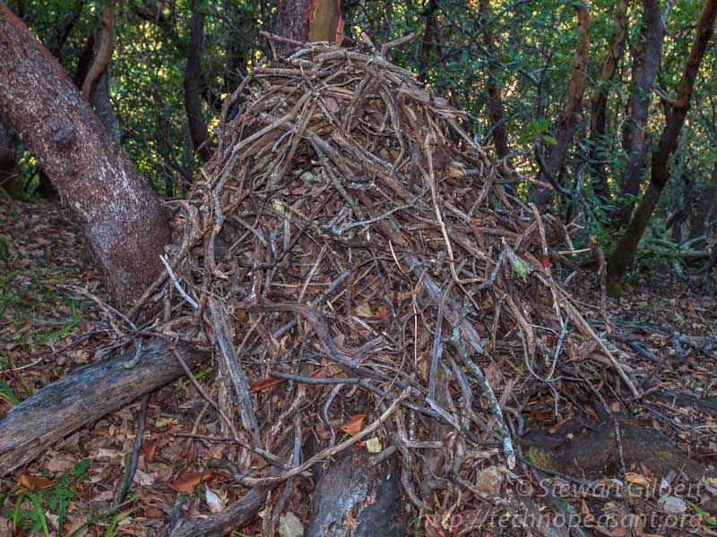Camp Wood Tx >> Who builds those stick houses, anyway? Woodrats!