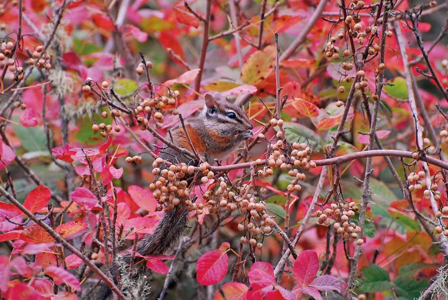 chipmunk on poison oak