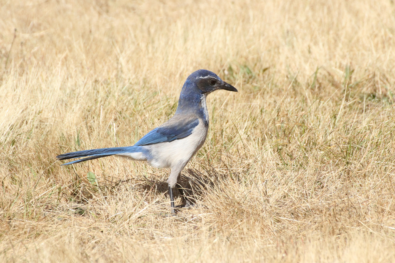 An odd-looking western scrub-jay