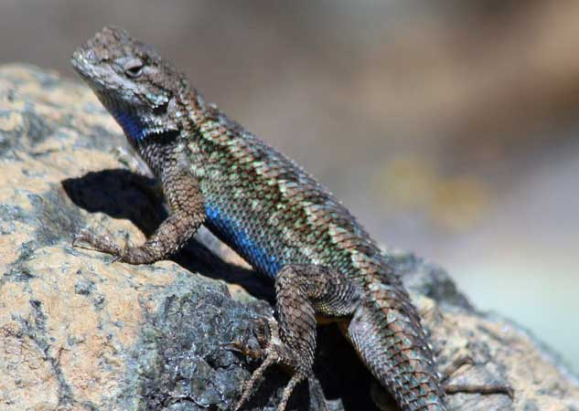 Bluebelly, western fence lizard