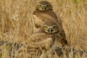 Western Burrowing Owl, Athene cunicularia. Photo: Annette Hurz/Flickr