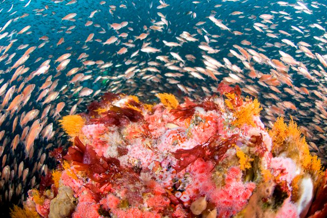 rockfish on a reef at Cordell Bank
