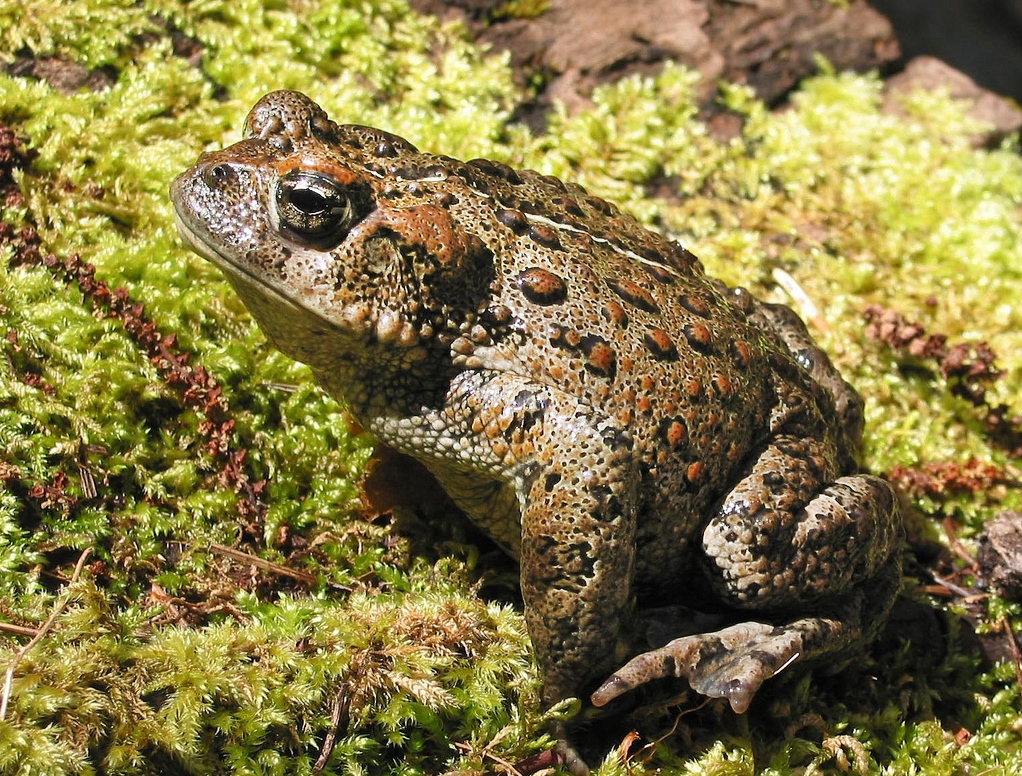 Western toad. Photo: Oregon State University.