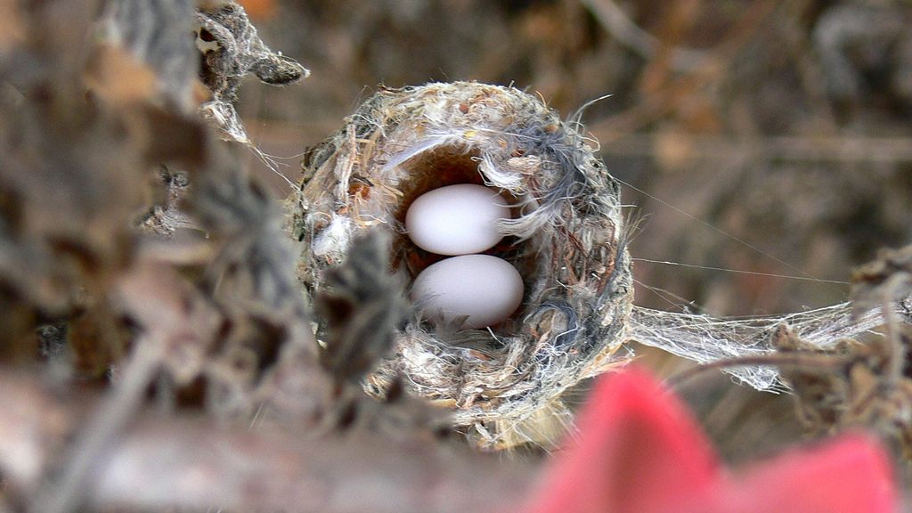 Do Hummingbirds Reuse Nests