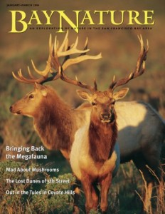 Bay Nature magazine - tule elk cover