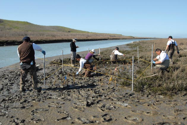Workers replant Spartina foliosa at the Alameda Flood Control Channel. (Photo by Drew Kerr, Invasive Spartina Project)
