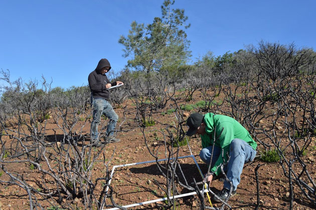Brian Peterson and Heath Bartosh (in green) check for plants in a one-meter square of burned area on Mount Diablo. (Photo by Joan Hamilton)