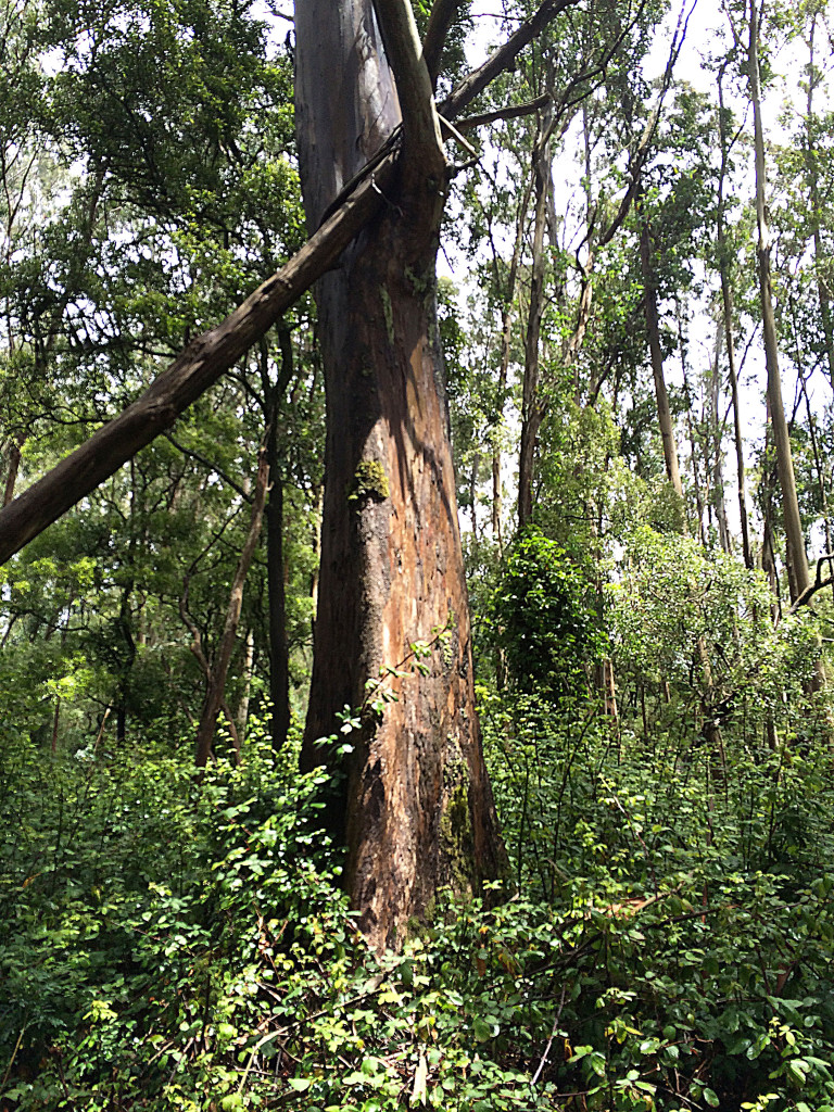 Sutro Forest is facing complications from invasive ivy that is choking its trees and interrupting its ecosystem. Photo by Becca Andrews.