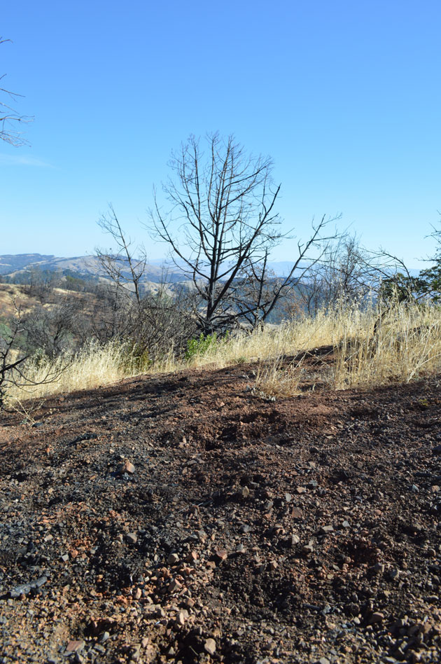 Pig damage, evidenced by upturned soil in the Morgan Fire area. (Photo by Joan Hamilton)