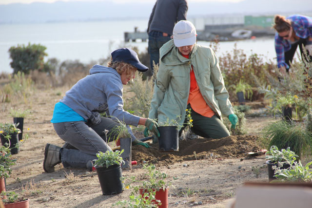 Volunteers plant native upland plants at Pier 94 in San Francisco. (Photo by Mallory Pickett)
