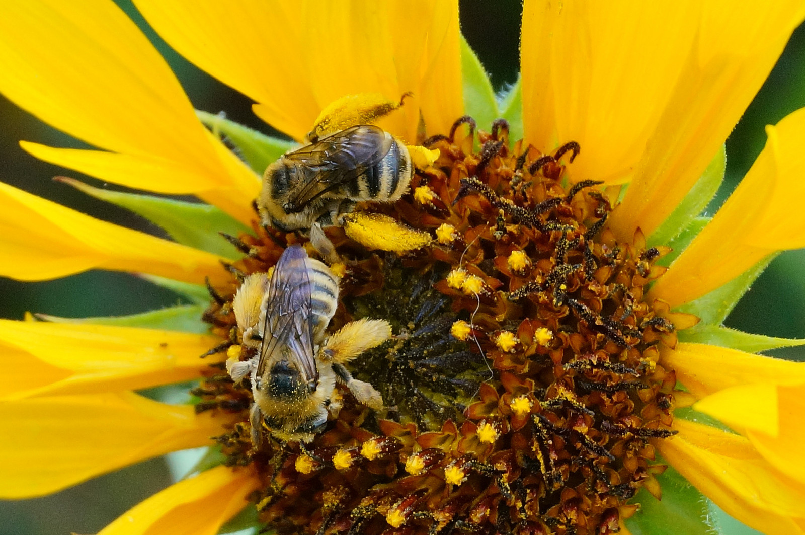 Two female digger bees — California natives  —work a sunflower for pollen to feed their young. Photo: Debbie Ballentine