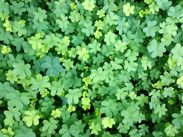 See the world carpeted in oxalis.