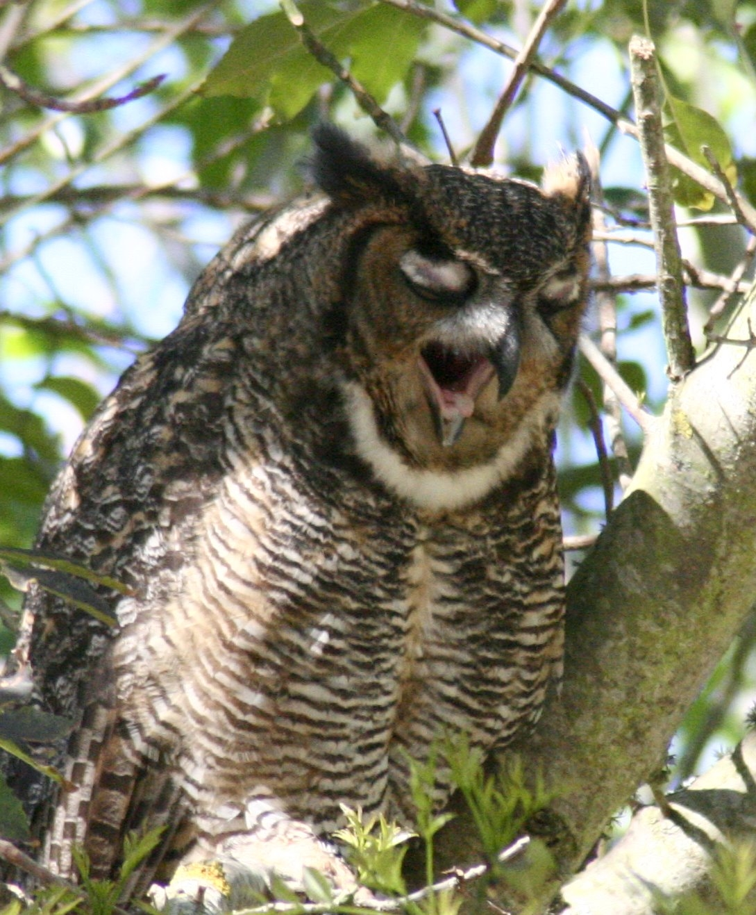regurgitating owl