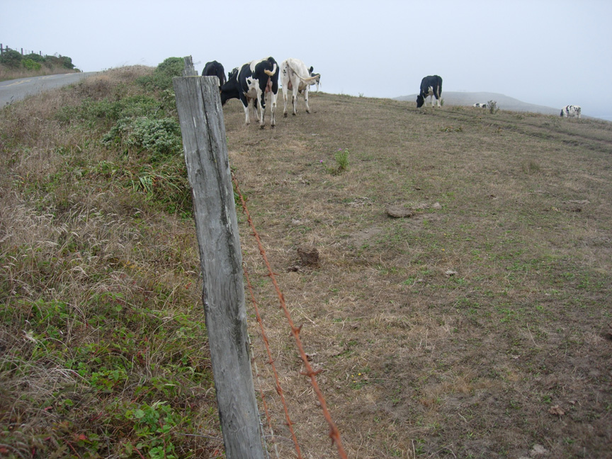 Cattle at the fenceline at Point Reyes National Seashore. Photo: Karen Klitz