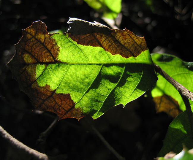 Phytophthora ramorum, known as Sudden Oak Death, has led to a loss of millions of trees.  Photo: Creative Commons