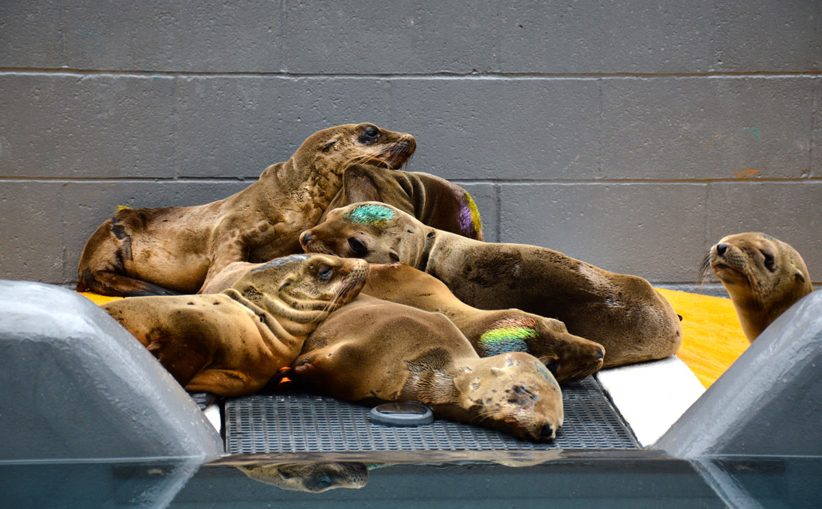 Rescued sea lion pups rest at The Marine Mammal Center in Sausalito. The coloring on their heads helps animal care experts identify individual patients during feedings. (Photo by Sarah van Schagen, courtesy The Marine Mammal Center)