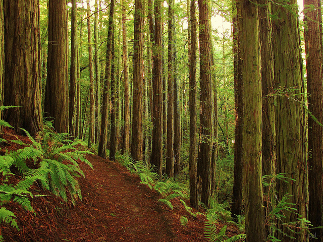 A thin stand of redwoods lines the Ship's Mast Trail in Indian Tree Open Space, Novato. Photo: pglautze, Flickr.