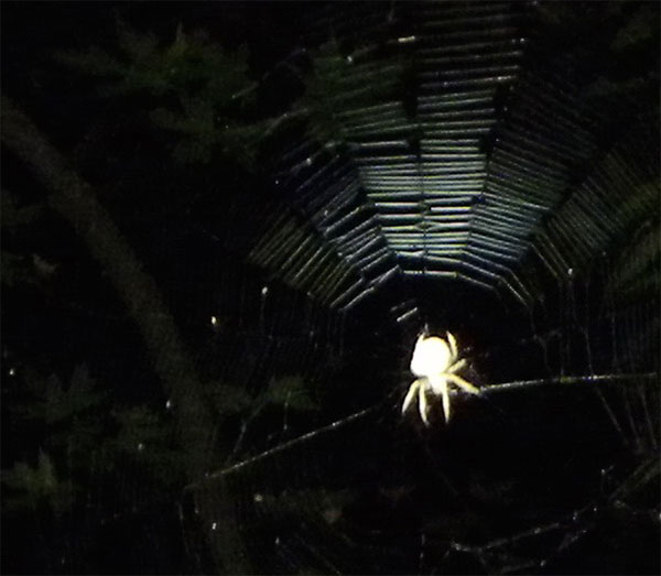 An orbweaver spider sits in its web. From Bay Nature's spider night hike with EBRPD naturalist Trent Pearce. Photo: Igor Skaredoff
