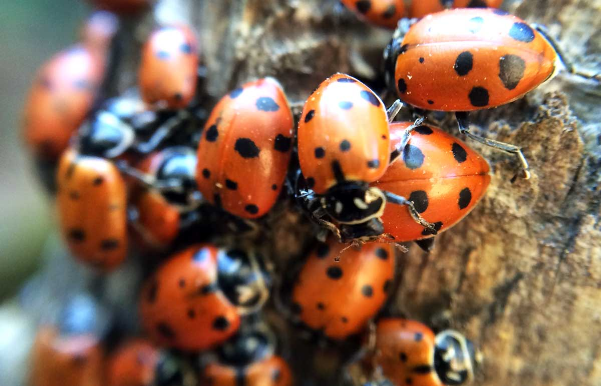 Ladybugs converge in Redwood Regional Park. (Photo by Jeremy Brautman)