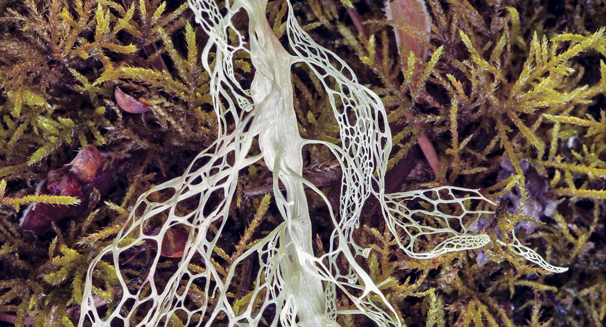 A fallen strand of the recently designated state lichen, Ramalina menziesii (lace lichen) drapes across a bed of moss. (Photo by Richard Droker, flickr.com/photos/29750062@n06)