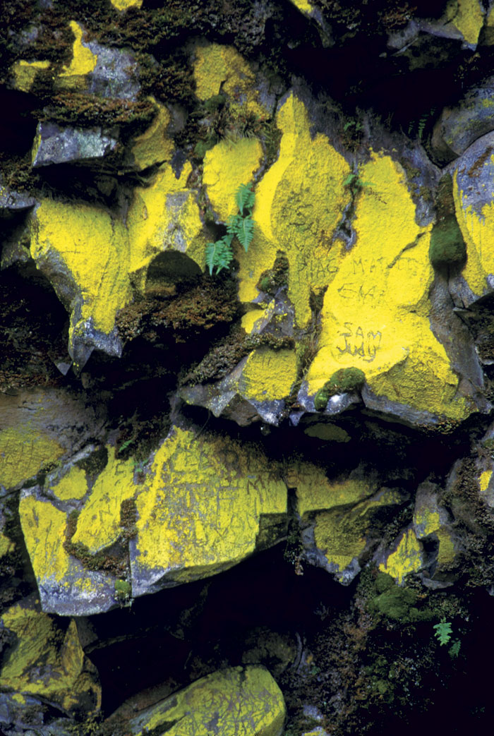 The gold dust crustose lichens of the Chrysothrix genus, such as C. xanthina shown here, are easily identified by their bright color. (Photo by Stephen Sharnoff, sharnoffphotos.com)