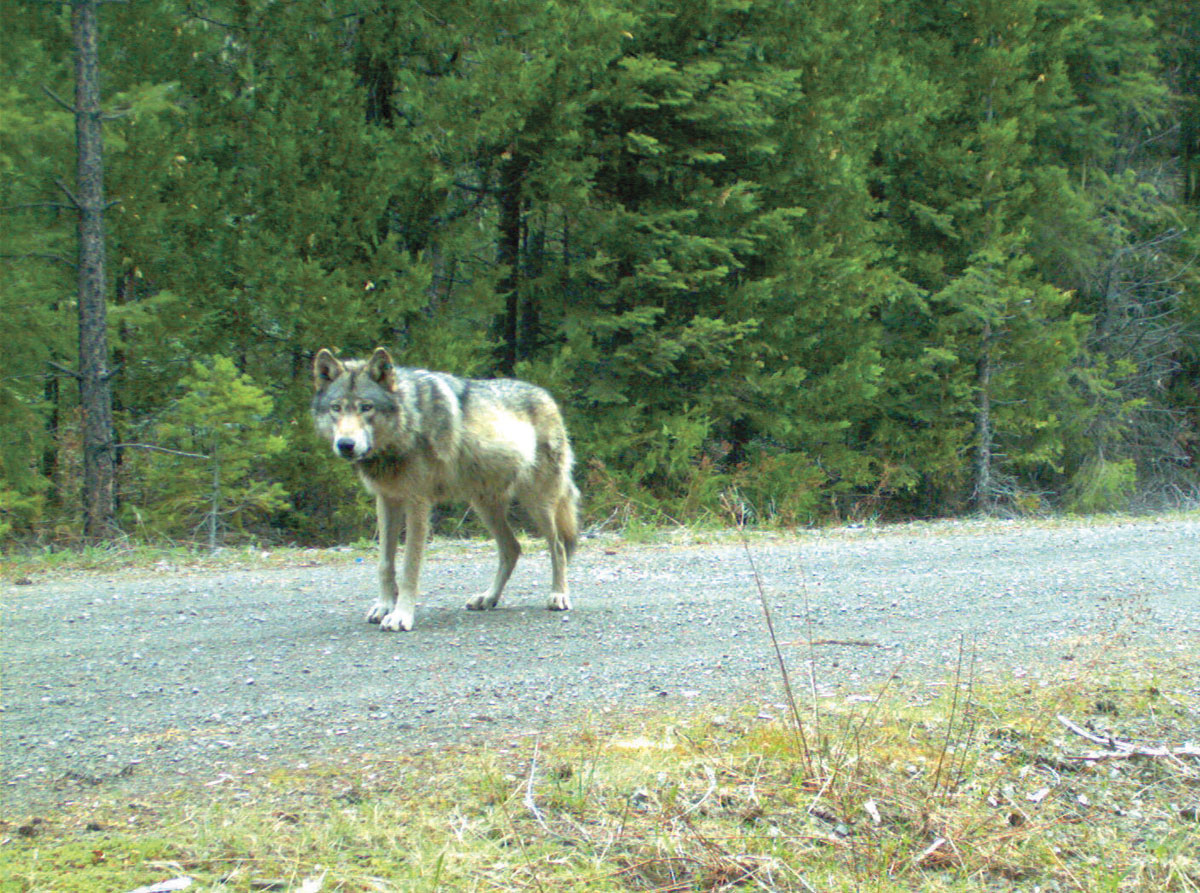 The wolf OR-7 near the California-Oregon border. (Photo by Oregon Department of Fish and Wildlife)