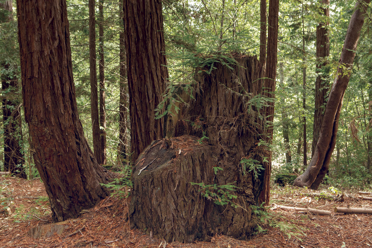 This small redwood grove has an old-growth stump in the middle; two second-growth stumps in the foreground (cut about 20 years ago); two medium-size second growth trees on the left; and two skinnier shoots on the right, candidates for restoration thinning to promote the growth of the two larger trees. (Photo by Sebastian Kennerknecht)