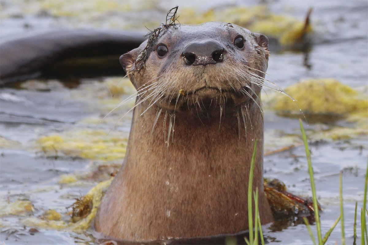 after decades away river otters make a triumphant return to the bay