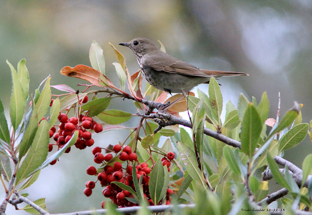 A hermit thrush enjoys the fruits of a toyon. Photo: Trish Gussler