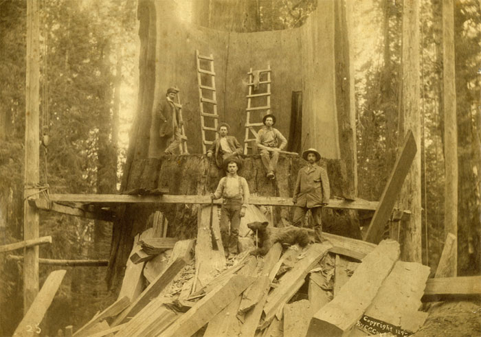 The remains of a giant sequoia tree cut down in 1892 in Northern California. The old redwoods of the Oakland hills rivaled even the giant sequoias of the north in girth. (Photo C. C. Curtis, courtesy of the California Historical Society)
