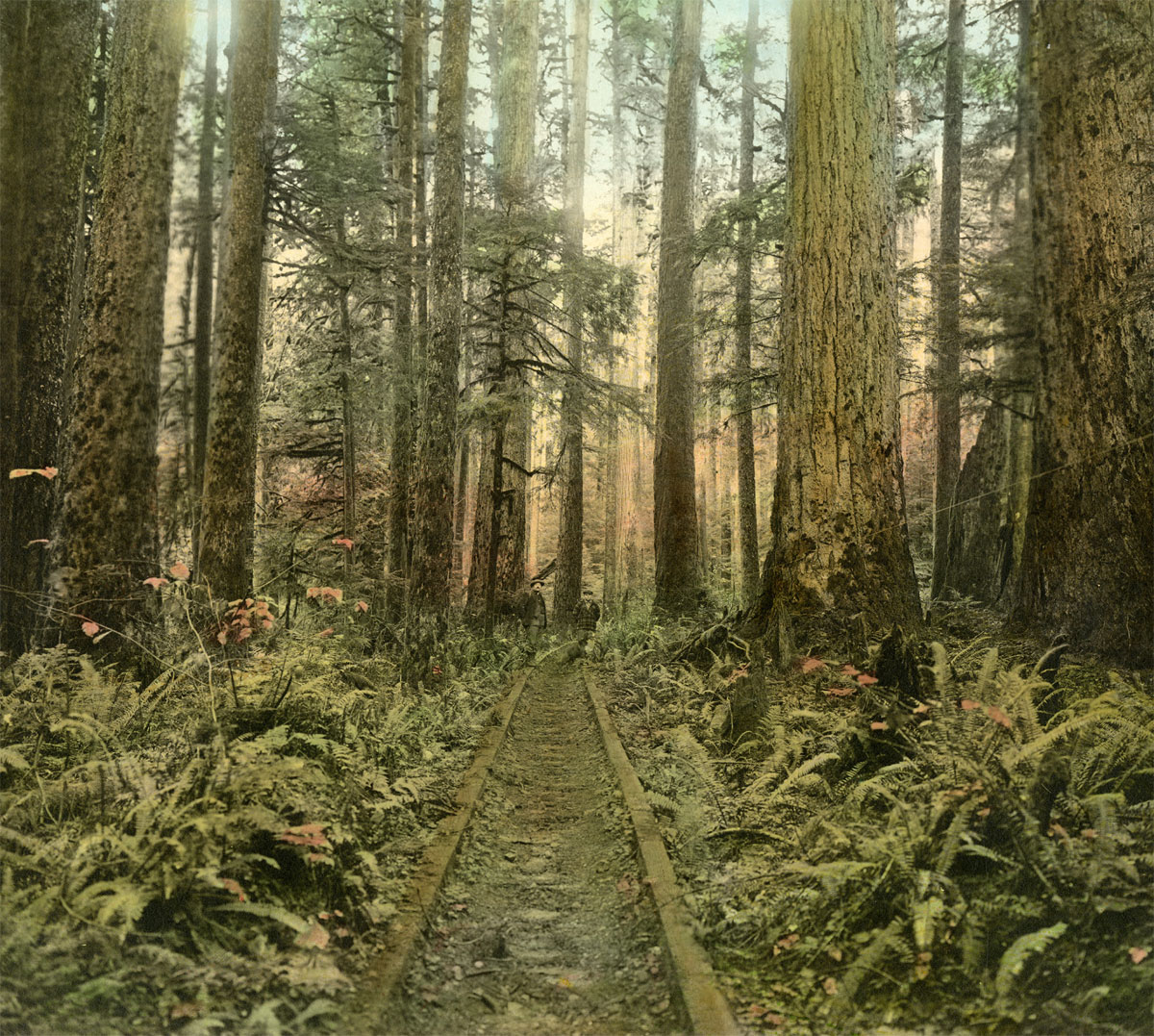 An old railway track used to haul lumber runs through a redwood forest in Northern California. By the early 1860s, the old-growth redwoods in the East Bay had been felled and logging activity had shifted to the Santa Cruz Mountains and Northern California. (Photo courtesy of the California Historical Society)