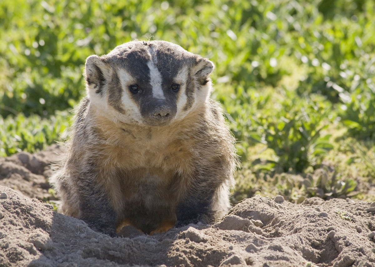 The American badger (Taxidea Taxus) appears out in the open on rare occasions. Photo: OR DFW