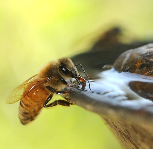 For bees, a little water goes a long way. Photo: Kathy Keatley Garvey, UCANR
