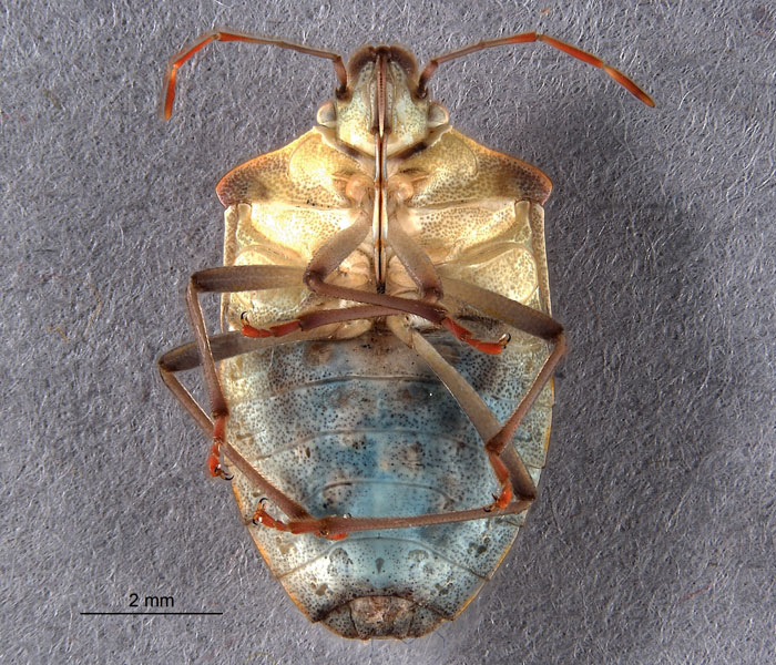 A true bug. (Photo courtesy California Backyard Biodiversity Pool Project)