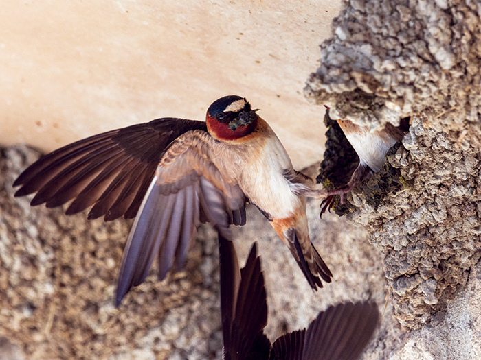 A cliff swallow prepares to add a beakful of mud to its nest. (Photo by Don DeBold)