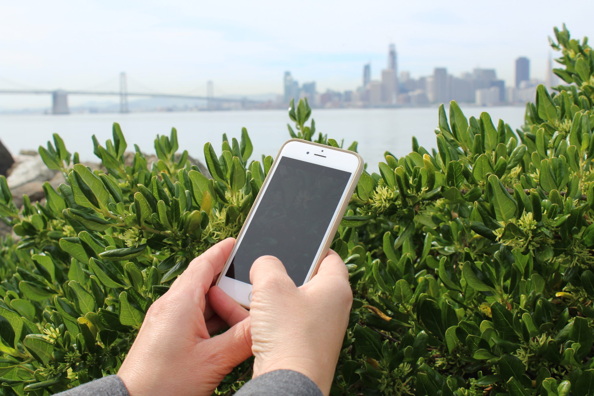In the City Nature Challenge, volunteer citizen scientists hunt for and record nature with the iNaturalist app. (Photo courtesy California Academy of Sciences)