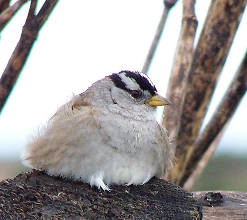 White Crowned Sparrow_ image credit_Lindsey Peterson