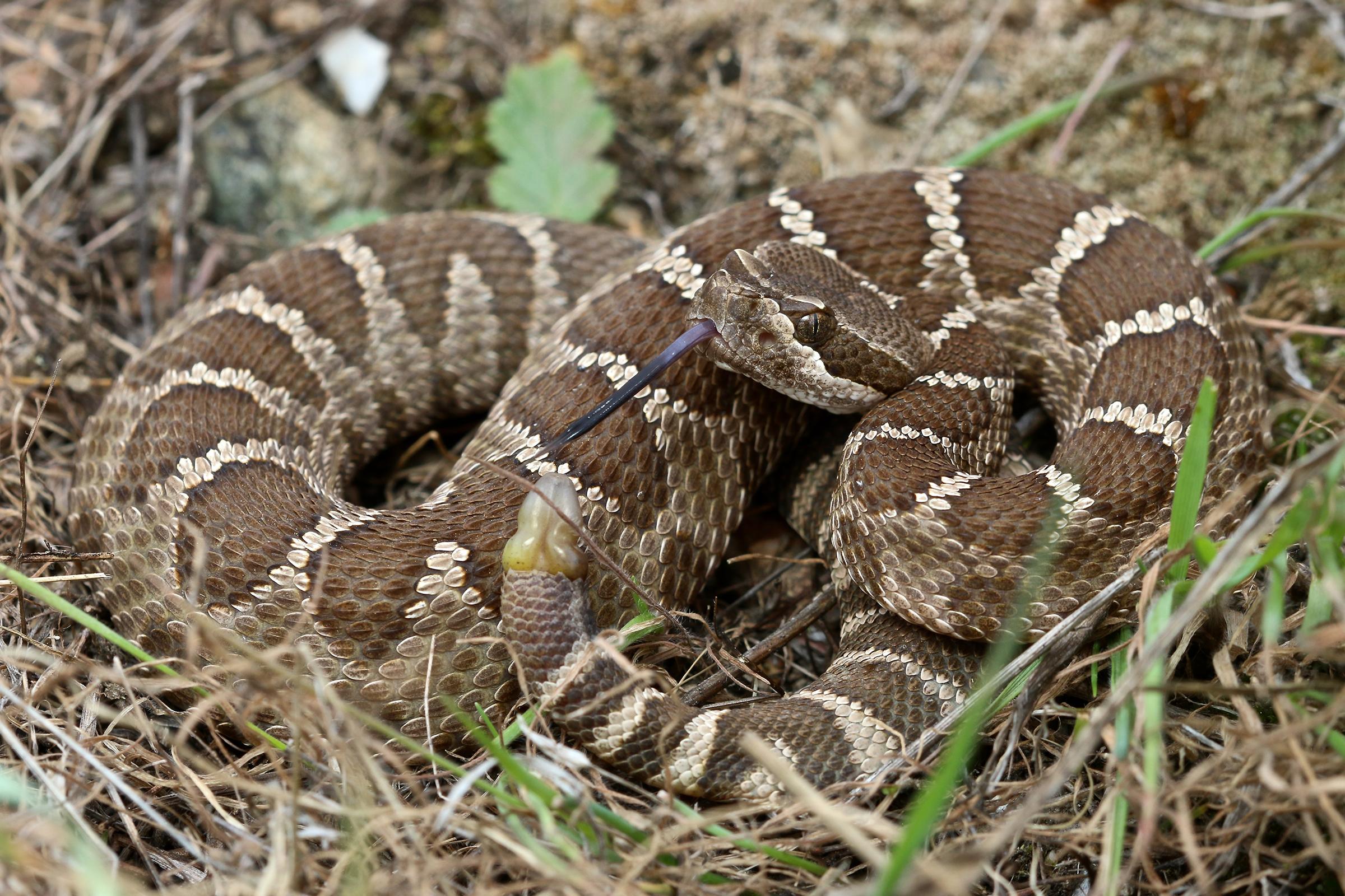 neonate rattlesnake