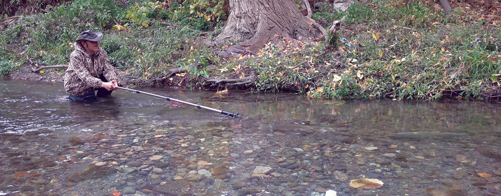 salmon in Los Gatos Creek