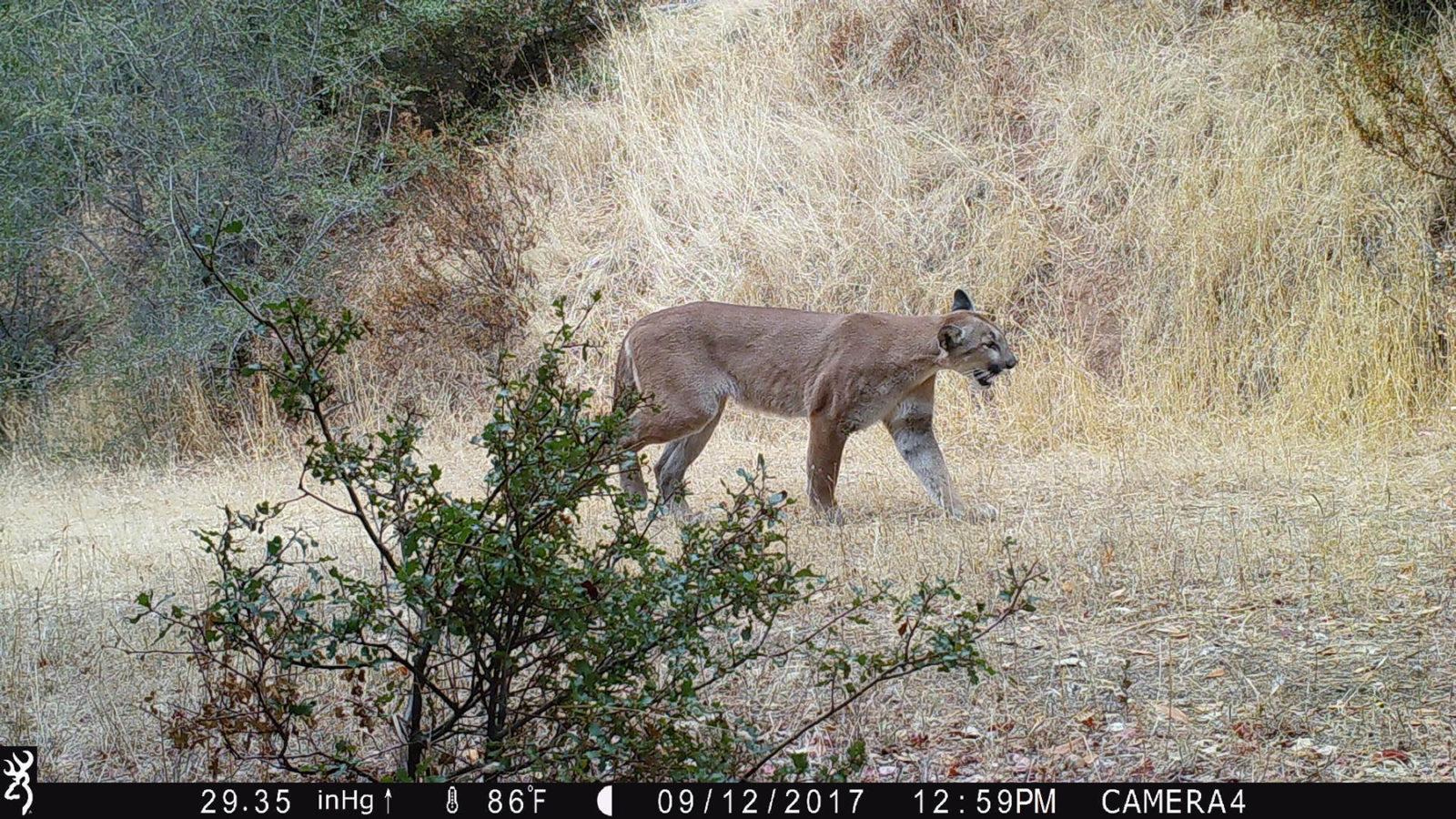 mountain lion on trail