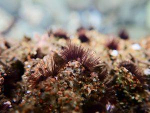 Phragmatopoma californica feeding tubes