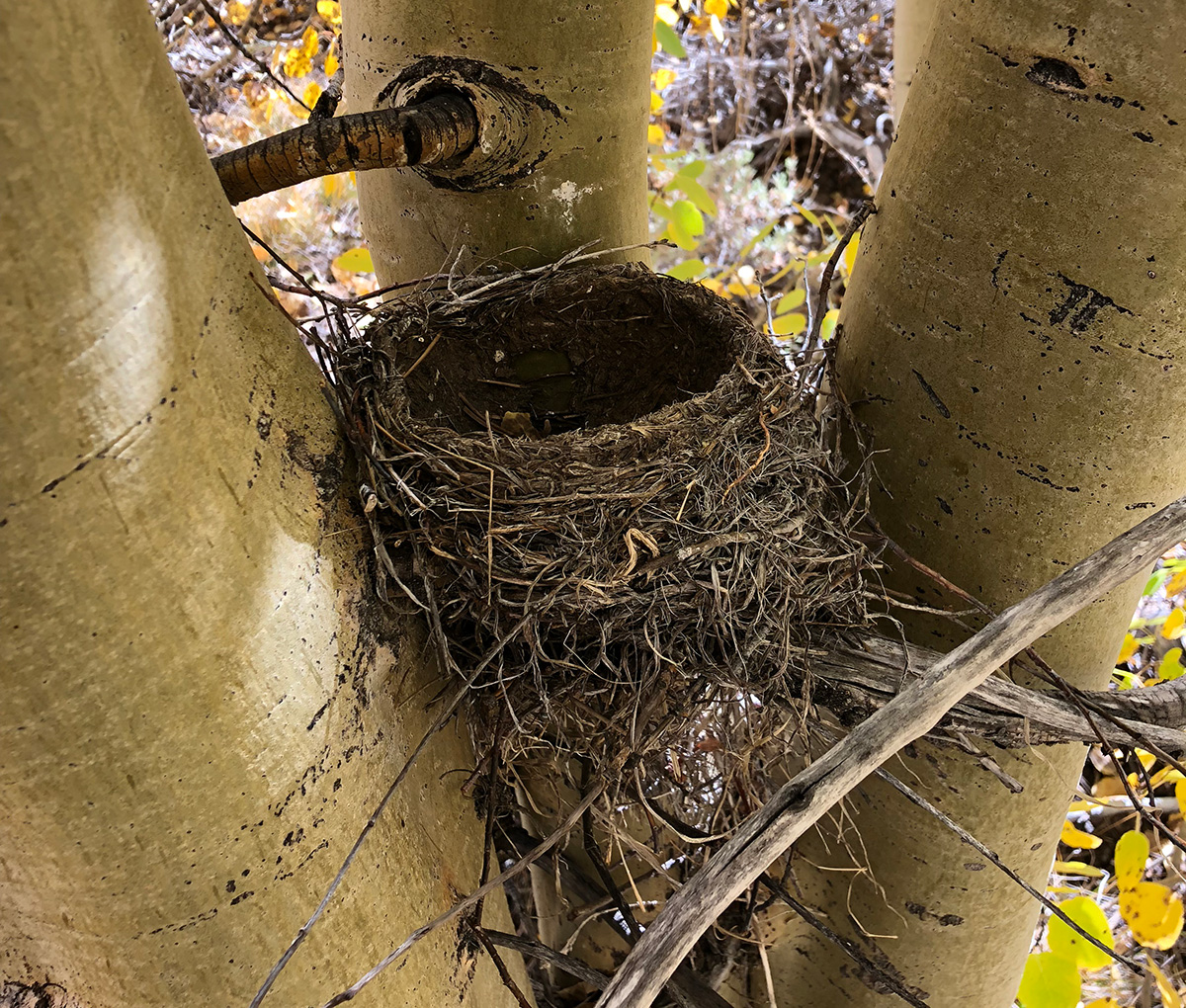robin cup nest