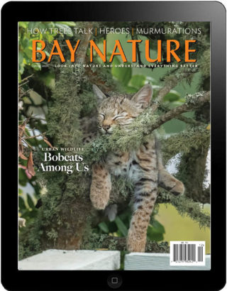 Bay Nature Spring 2021 digital edition cover: baby bobcat napping in tree