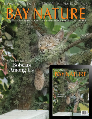 Bay Nature Spring 2021 issue cover: baby bobcat napping in tree