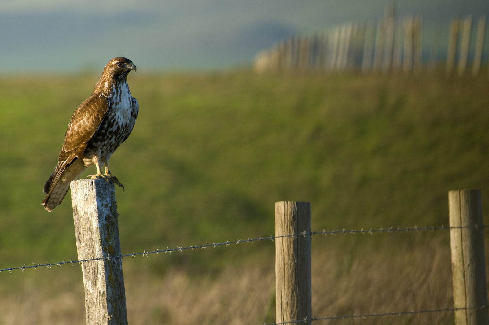 Red tailed hawk on ranch fence